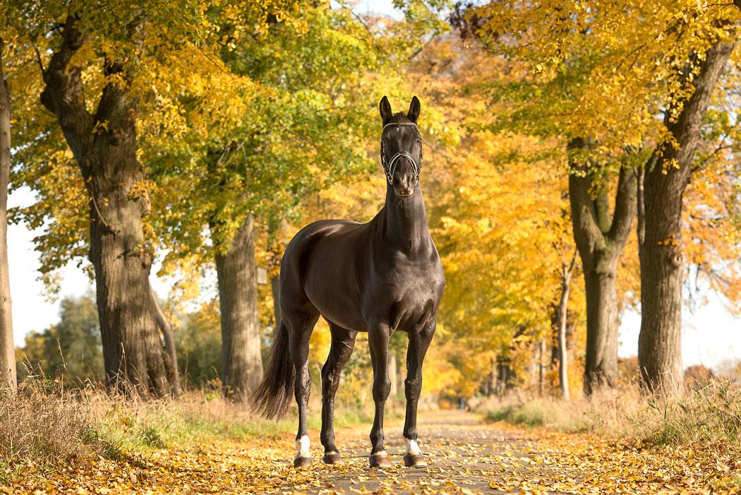 Braunschweig-Fotograf-Pferd-Lindenallee-Herbst
