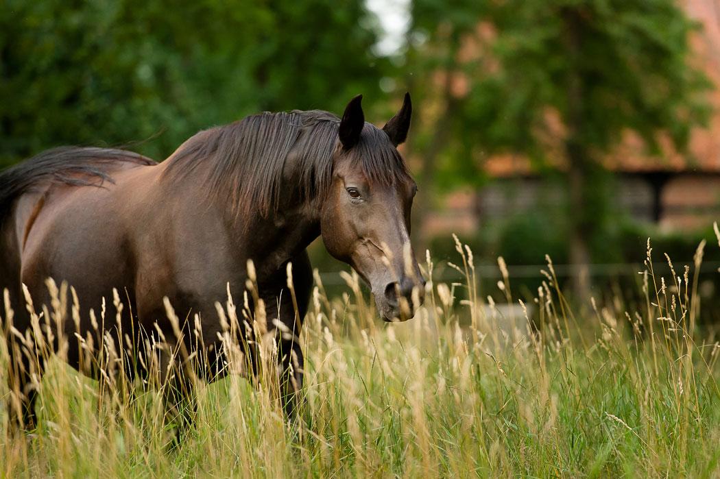 Braunschweig-Pferdefotografie-Stute-2