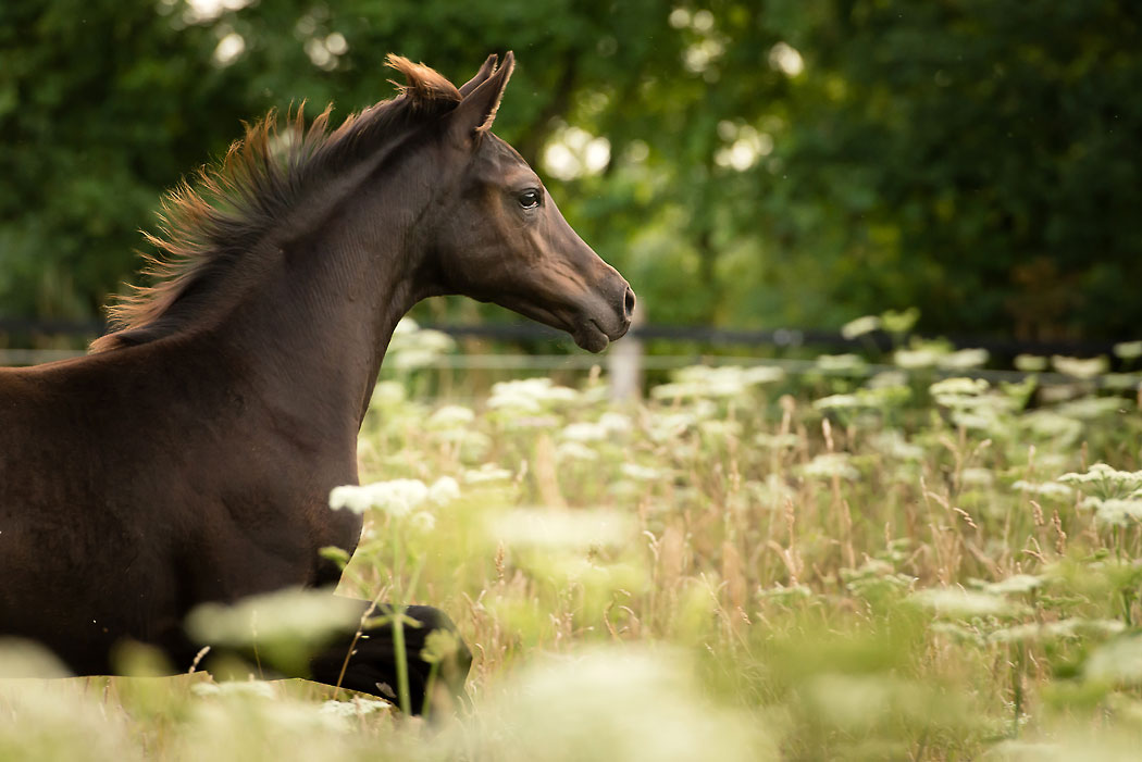 Braunschweig-Tierfotografie-Pferd-Fohlen