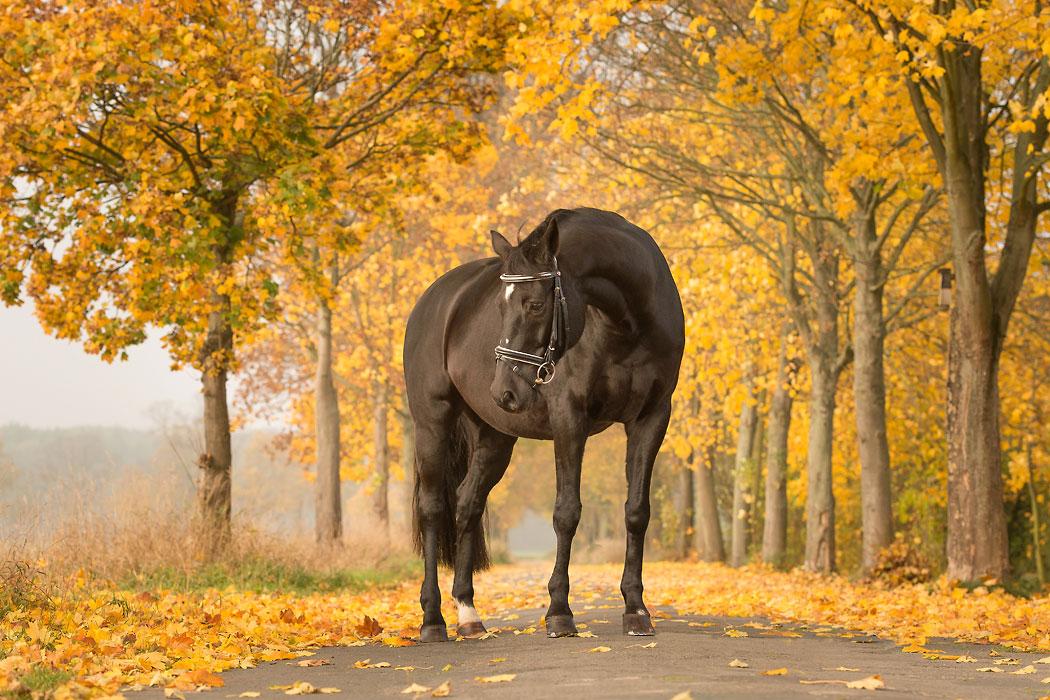 http://www.braunschweig-fotografin.de/wp-content/uploads/Braunschweig-Tierfotografie-Pferd-Herbst-Lindenallee.jpg