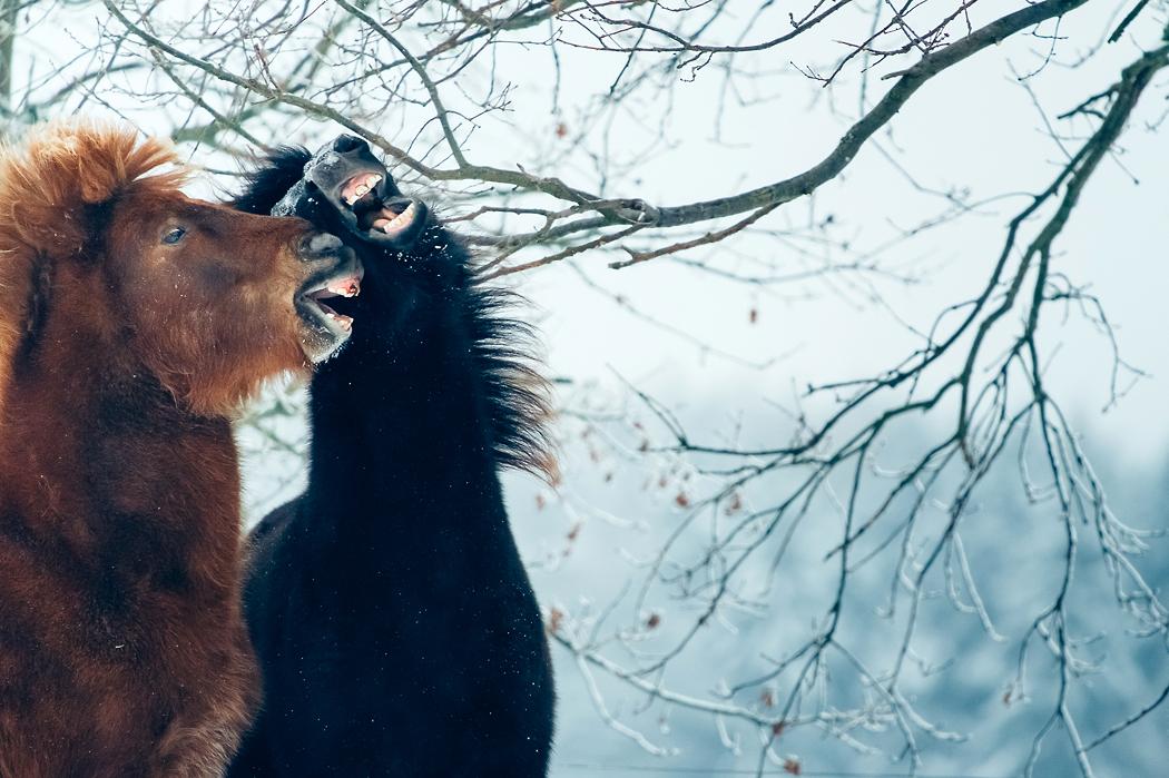 Fotograf-Braunschweig-Islandpferde
