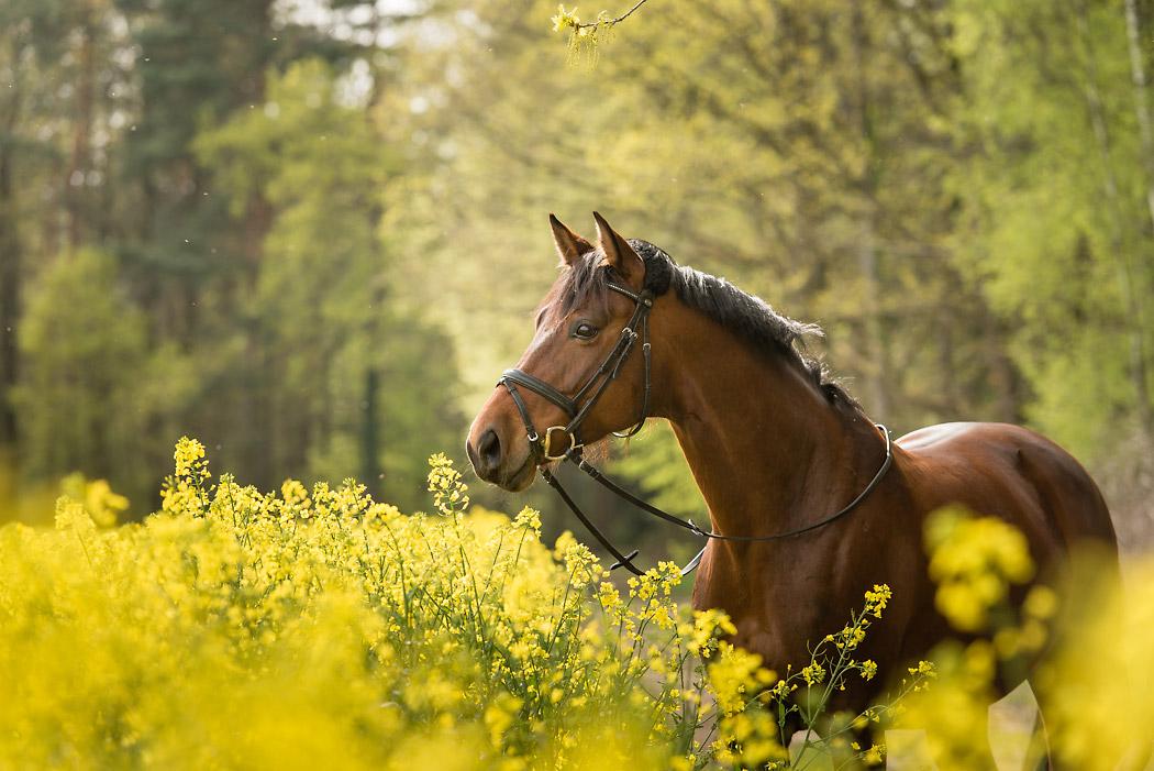 Gifhorn-Fotograf-Pferd-2