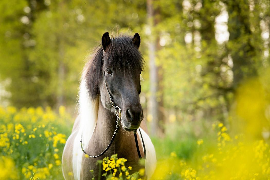 Gifhorn-Fotograf-Pferd