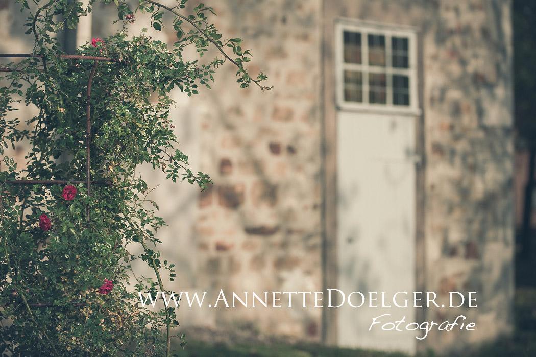 Eine Rose im Bibelgarten hinter St. Adrian