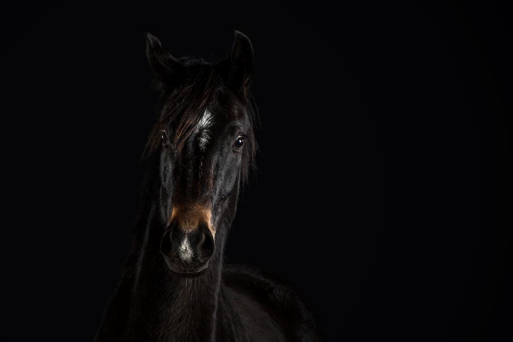 Pferd Fotostudio Braunschweig
