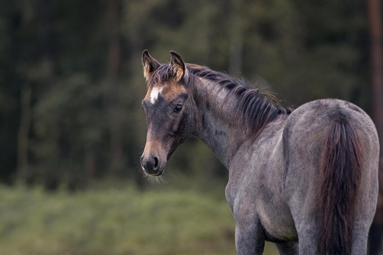 Pferdefotograf-Wolfsburg-Fohlen