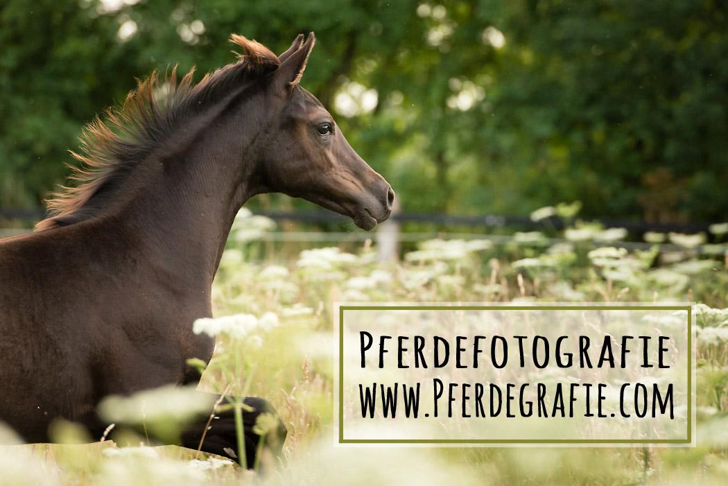 Pferdefotografie-Braunschweig-1