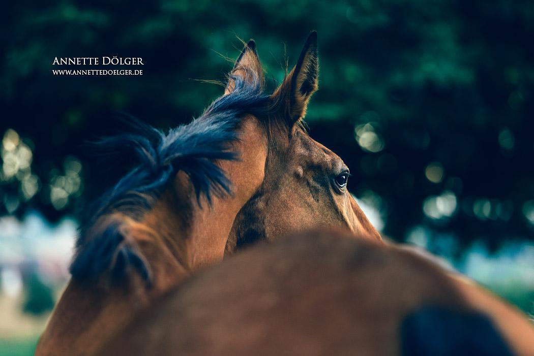 pferdefotografie-braunschweig-annette-doelger-6