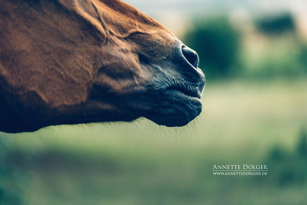 pferdefotografie-braunschweig-annette-doelger-9