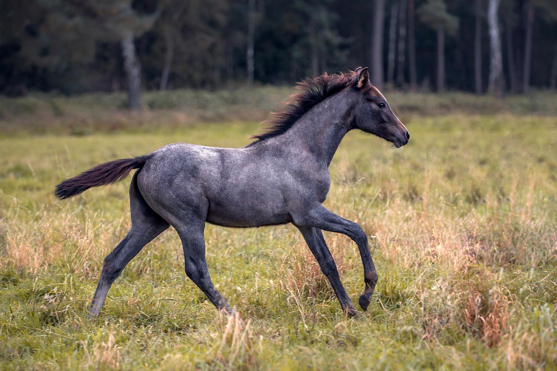 Pferdefotografie-Braunschweig-Fohlen