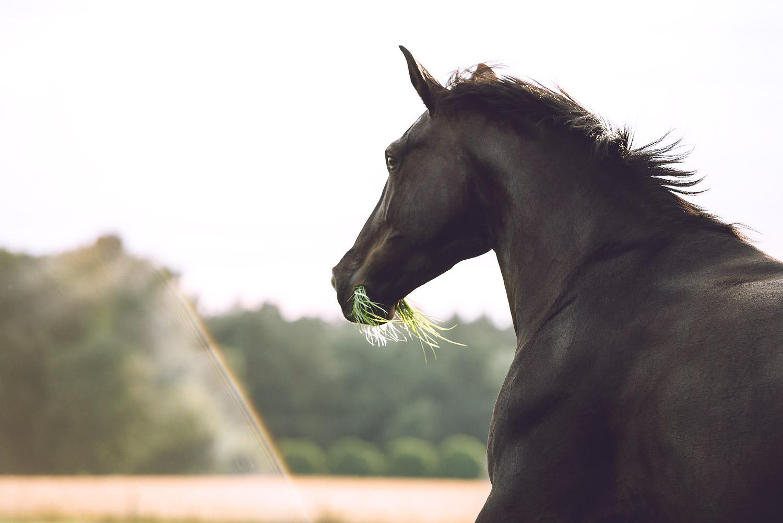 Pferdefotografie, Pferde, Salzgitter, Wolfsburg, Wolfenbuettel, Gifhorn, Koenigslutter, Braunschweig, Helmstedt, Pferdefotografin, Frau, Reitsportfotografie, Rappe