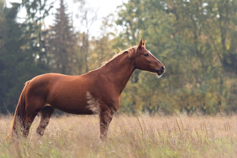 Pferdefotografie-Fuchs-Wiese