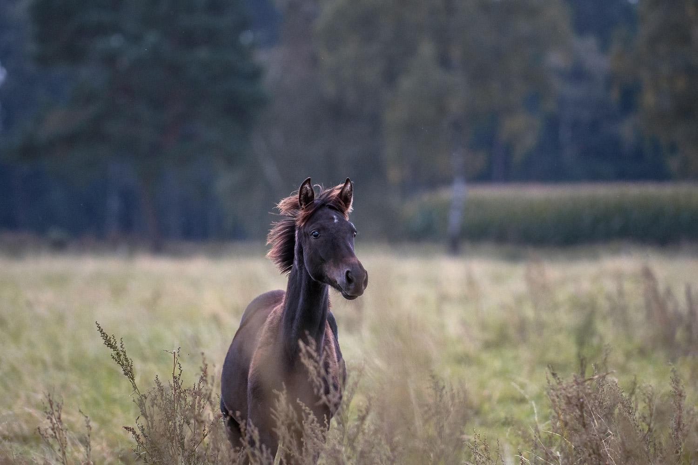 Pferdefotografie-Helmstedt-Fohlen